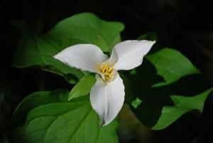 Trillium at Tryon Creek