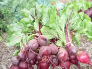 Beets from the Demonstration Garden 2013