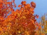 Red Leaves photo