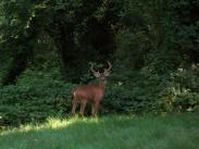 Category 6 – First Place:  Buck in Backyard by William Mayhew