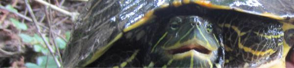 Water Quality turtle