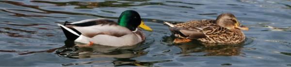 Ducks enjoying Lake Oswego waters