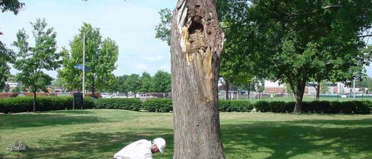 Arborist conducting visual tree inspection.