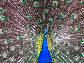 Peacock Photo by Alison Webster 2020