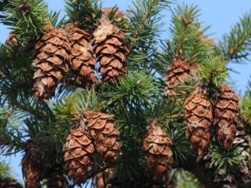 Discover Douglas Firs in Lake Oswego's Parks!